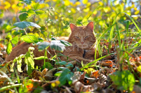 Red cat lies in autumn the grass Stock photo © AlisLuch
