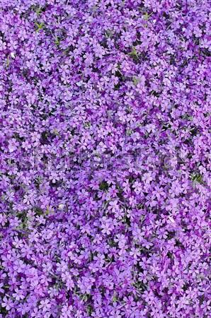 Purple гвоздика Клумба саду завода Сток-фото © AlisLuch