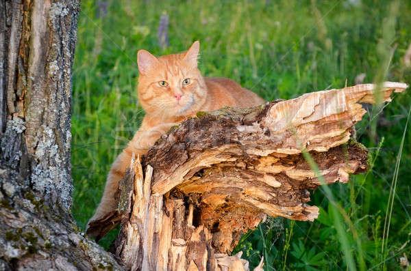 Kırmızı kedi oturma ağaç orman yaz Stok fotoğraf © AlisLuch