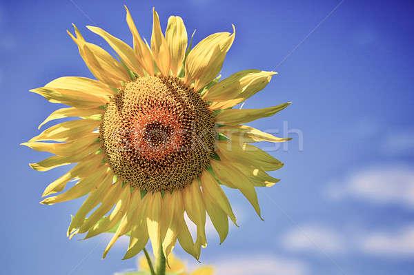 Yaz manzara alan ayçiçeği çiçek Stok fotoğraf © AlisLuch