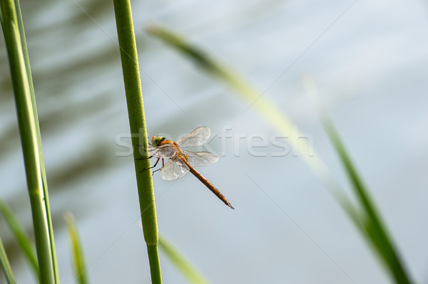 Dragonfly  close up  Stock photo © AlisLuch