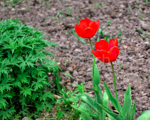 Flowering tulips on a flowerbed in a garden in the spring Stock photo © AlisLuch