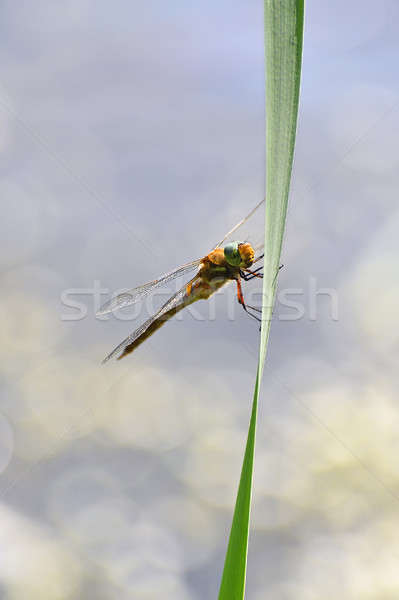 Dragonfly close up sitting on the grass above the water Stock photo © AlisLuch