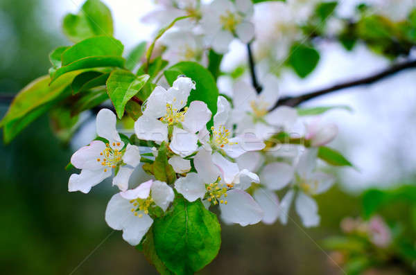 Branch pears with white flowers Stock photo © AlisLuch