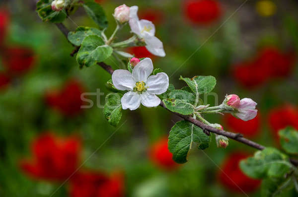 Landscape with a spring flowering pear in the garden Stock photo © AlisLuch