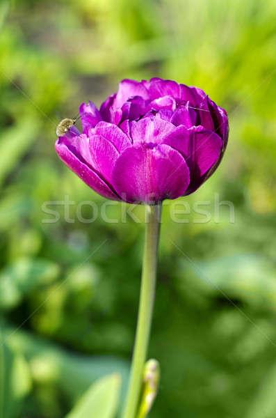 Flower magenta peony  Stock photo © AlisLuch