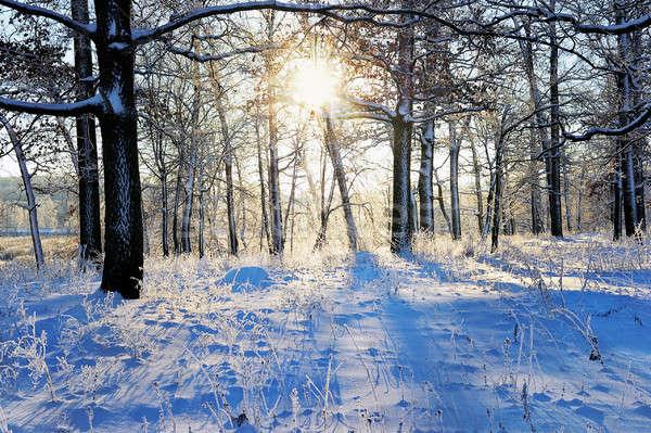 冬 風景 森林 午前 太陽 ツリー ストックフォト © AlisLuch