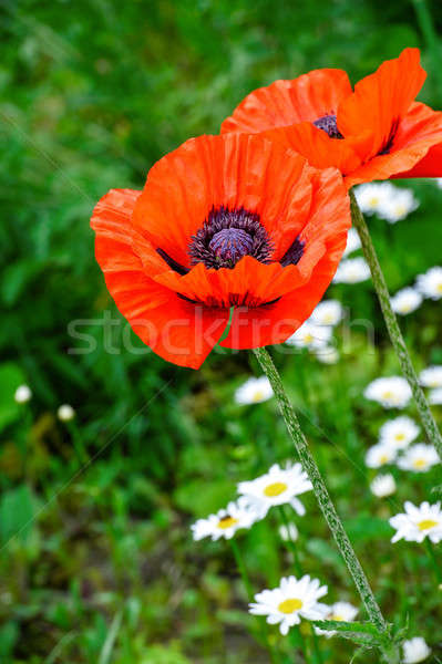 Flowering poppies and daisies on a green summer field Stock photo © AlisLuch