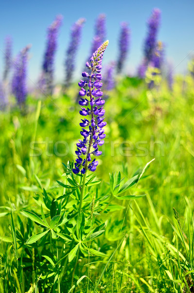 Blooming lupine Stock photo © AlisLuch