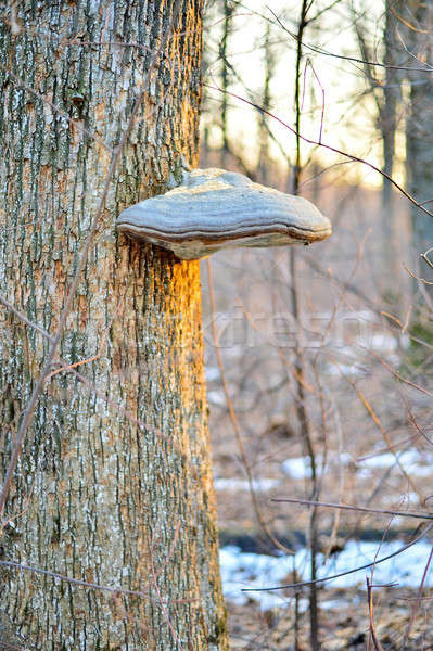 Tinder fungus on a tree Stock photo © AlisLuch