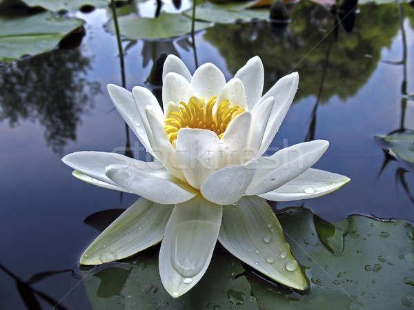 красивой Лилия капли воды Сток-фото © AlisLuch