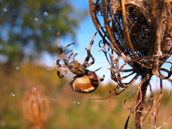 Spider on spider web after rain Stock photo © AlisLuch