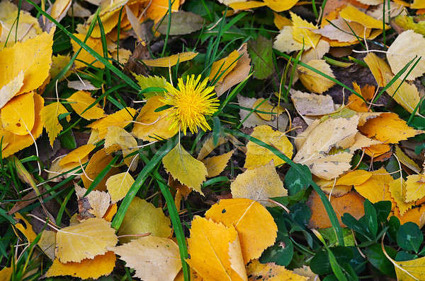 Natural background of yellow autumn leaves  Stock photo © AlisLuch