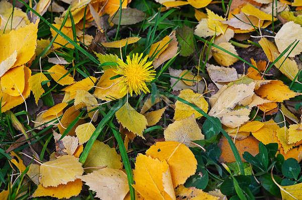 自然 黄色 紅葉 緑の草 自然 背景 ストックフォト © AlisLuch