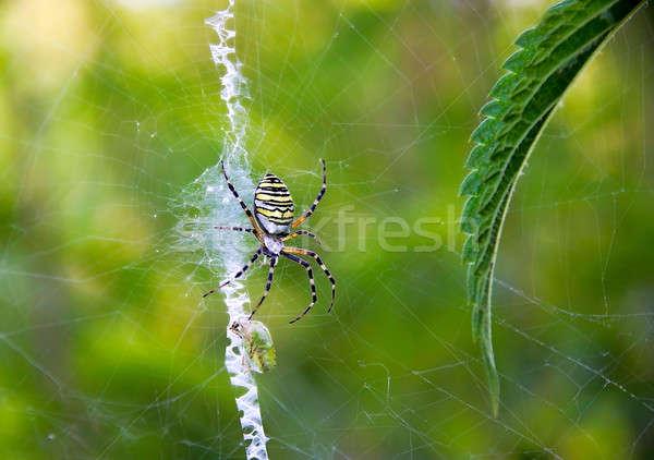 Pók vadászat zsákmány közelkép háló Stock fotó © AlisLuch