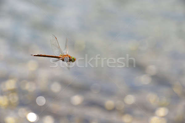 Dragonfly Flying воды Focus голову Сток-фото © AlisLuch