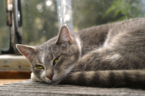 Stock photo: Gray striped cat looks sad at camera