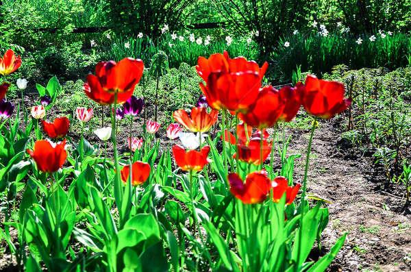 цветения тюльпаны саду весны цветок Сток-фото © AlisLuch