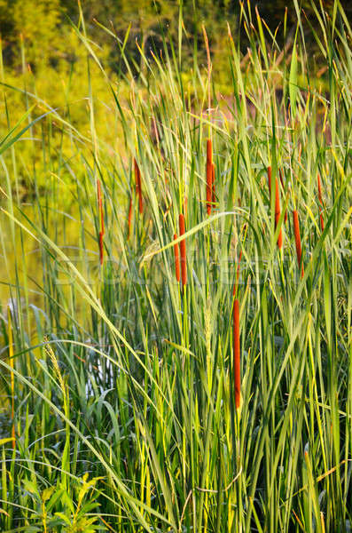Flowering reeds  Stock photo © AlisLuch