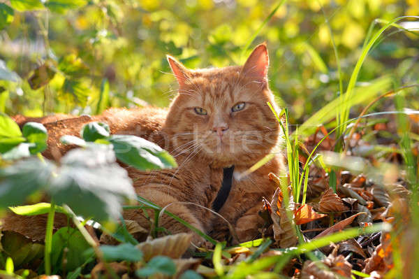 Red cat lies on the yellow autumn foliage Stock photo © AlisLuch