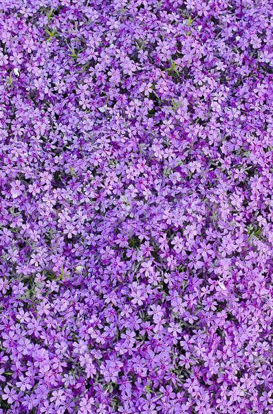 Blüte lila Nelke Beet Garten Pflanzen Stock foto © AlisLuch