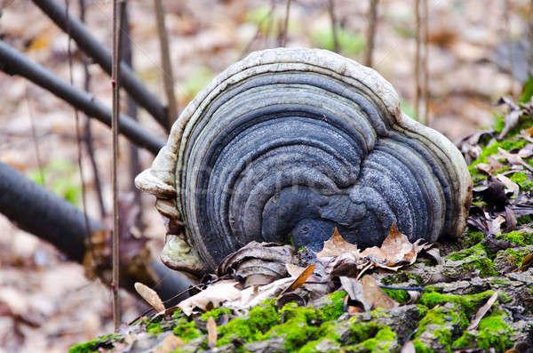 Grzyb drzewo żywności drewna lasu charakter Zdjęcia stock © AlisLuch