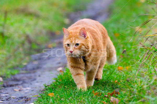 赤 猫 秋 草 草原 緑の草 ストックフォト © AlisLuch