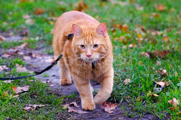 Red cat walks in the autumn grass on a leash Stock photo © AlisLuch