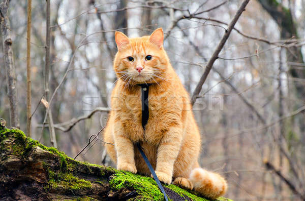 Red cat on a leash sitting on a felled tree in the forest Stock photo © AlisLuch