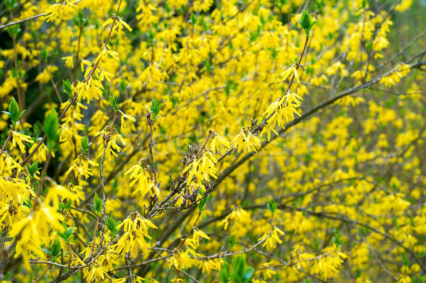 Bush blooming in the garden forsythia Stock photo © AlisLuch