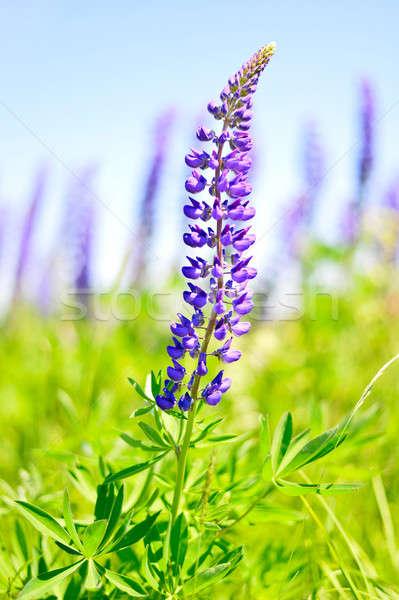 луговой цветы весны Сток-фото © AlisLuch