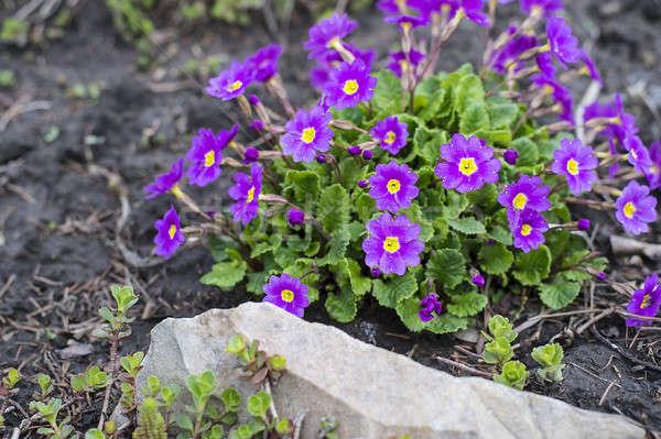 цветения Клумба весны саду Сток-фото © AlisLuch
