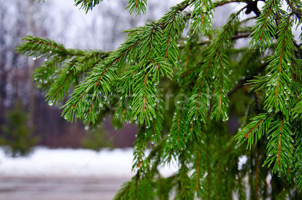 Spruce branches Stock photo © AlisLuch