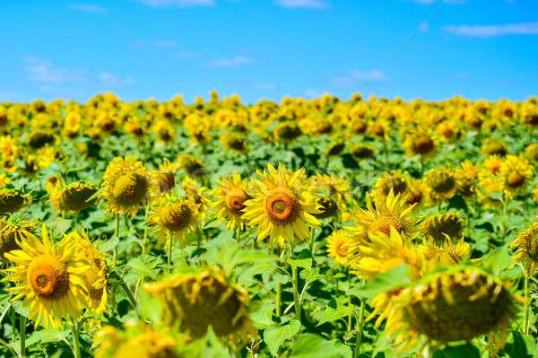 夏 風景 フィールド ひまわり 空 ストックフォト © AlisLuch