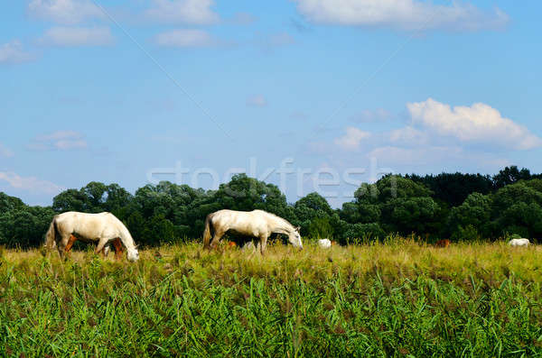 Rural landscape with horses grazing in a meadow Stock photo © AlisLuch