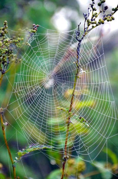Pajęczyna internetowych łące roślin sieci Zdjęcia stock © AlisLuch