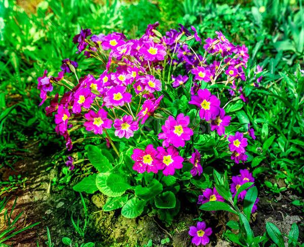 花壇 開花 庭園 春の花 ベッド 春 ストックフォト © AlisLuch