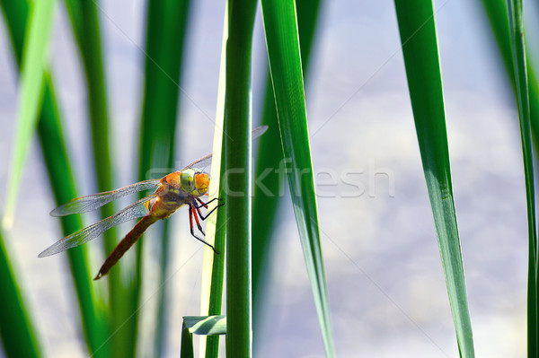 Dragonfly Sympetrum close-up sitting on the grass Stock photo © AlisLuch