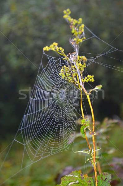 クモの巣 ウェブ クローズアップ 草原 工場 ネットワーク ストックフォト © AlisLuch