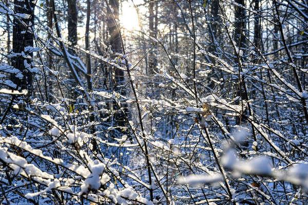 冬 森林 雪 自然 風景 ストックフォト © AlisLuch