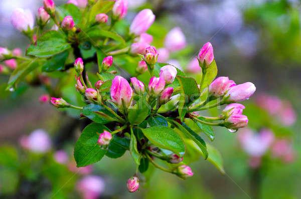 филиала груши розовый цветы дождь капли Сток-фото © AlisLuch