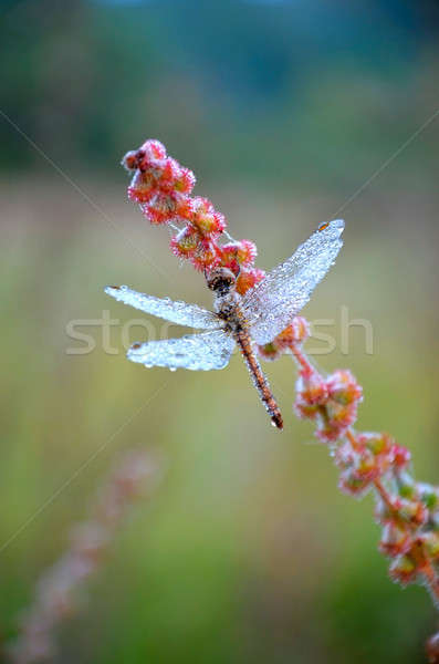 Dragonfly in the drops of dew Stock photo © AlisLuch