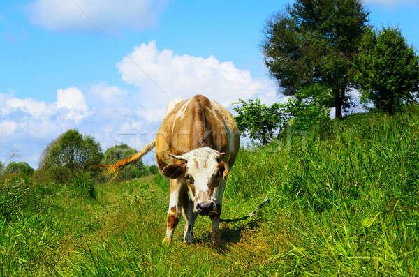 корова глядя пейзаж лет Сток-фото © AlisLuch