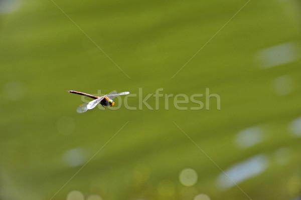 Libélula voador água foco cabeça Foto stock © AlisLuch