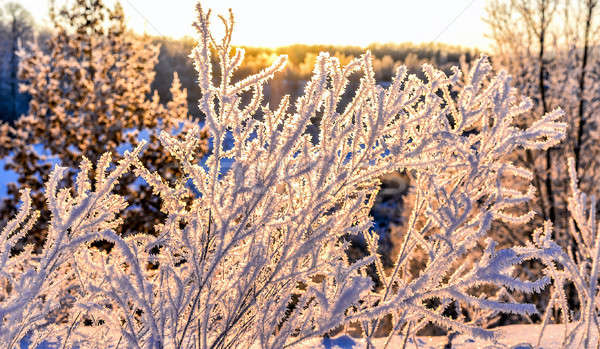 Bright winter landscape with trees in the forest at sunrise Stock photo © AlisLuch
