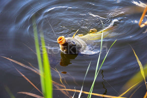 Catching carp bait in the water close up Stock photo © AlisLuch