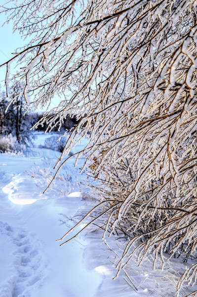 Tree branches in frost, winter background Stock photo © AlisLuch