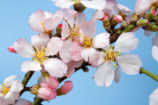Flowering almond branch  Stock photo © All32