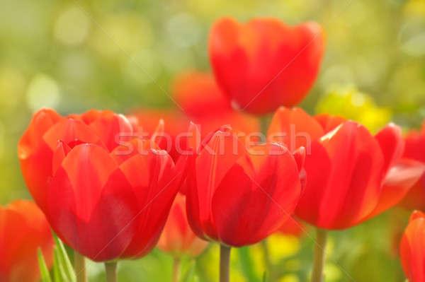 Rood tulpen mooie groeiend Pasen Stockfoto © All32