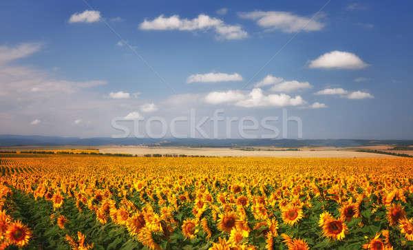 Foto stock: Girassóis · campo · blue · sky · nuvens · céu · flor